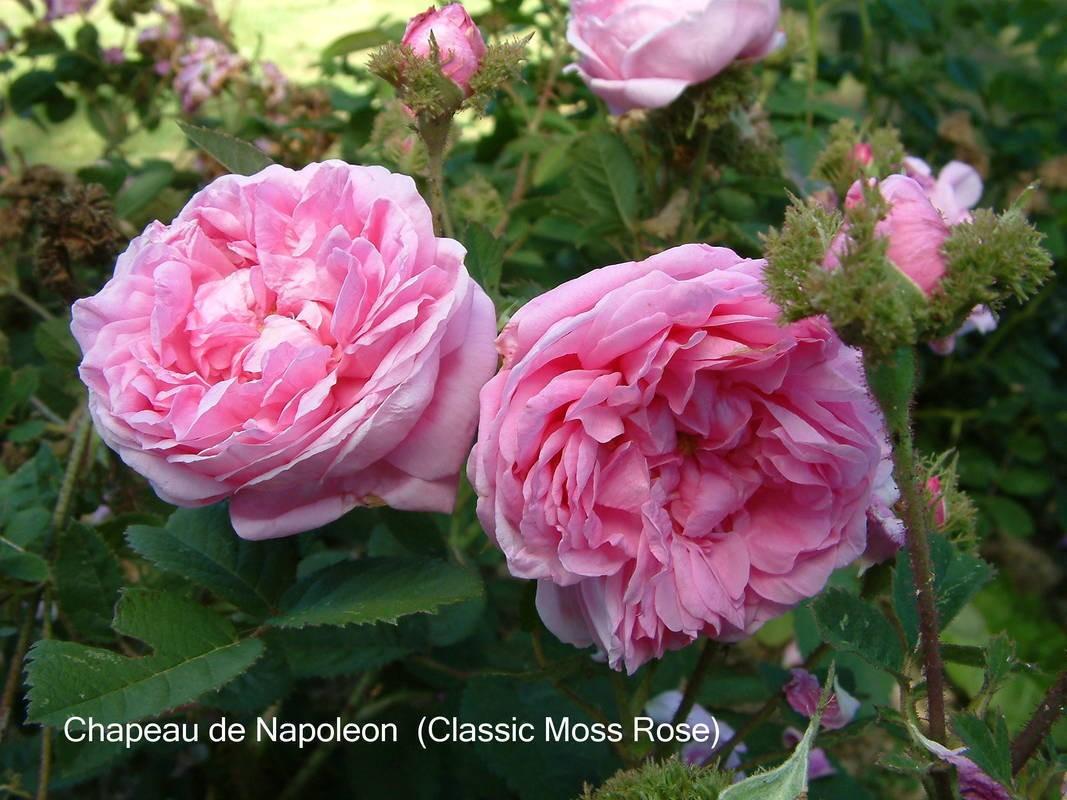 chapeau de napoleon   mosses   old garden roses   rose catalog   tasman bay roses   buy roses