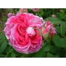 Rose du Maitre d'Ecole