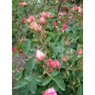 Rose Edouard