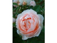 Ambridge Rose (Auswonder)