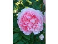 Cottage Rose (Ausglisten) SNA