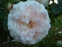 Emily's Rose