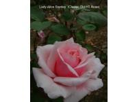 Lady Alice Stanley SNA
