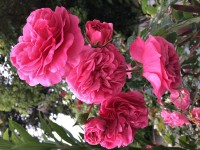 Lucy's Rose