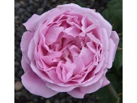 Mary Rose STD
