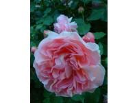 Pink Gruss an Aachen