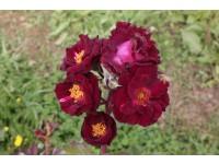 Purple Sage SNA