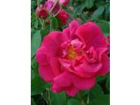 Rosa gallica Conditorum SNA