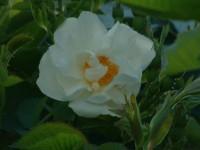 Rosa Alba semi-plena