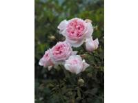 The Wedgewood Rose (Ausjosiah)