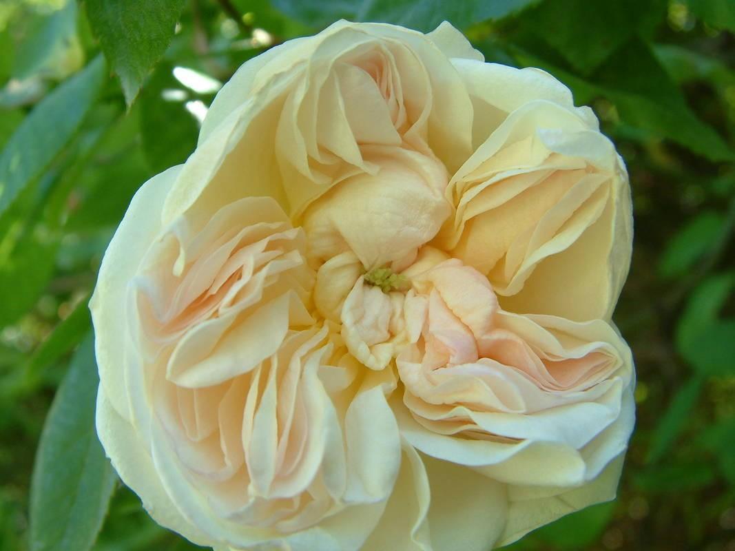 Desprez A Fleur Jaune Tasman Bay Roses Buy Roses Online