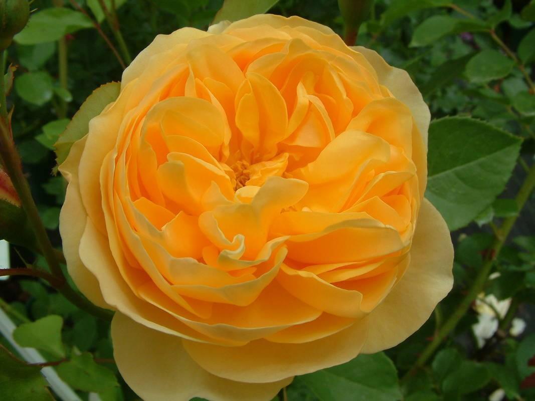 Graham thomas ausmas tasman bay roses buy roses online in new graham thomas ausmas thecheapjerseys Images