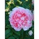 Cottage Rose (Ausglisten)