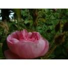Rosa centifolia muscosa SNA