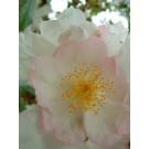 Rosa multiflora cathayensis