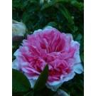 Rosa roxburghii plena