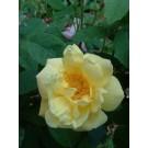 Rosa foetida persiana SNA
