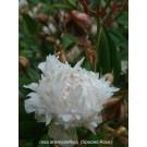 Rosa anemoneflora SNA