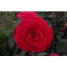 Rosemary Rose