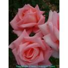 Rosy Mantle